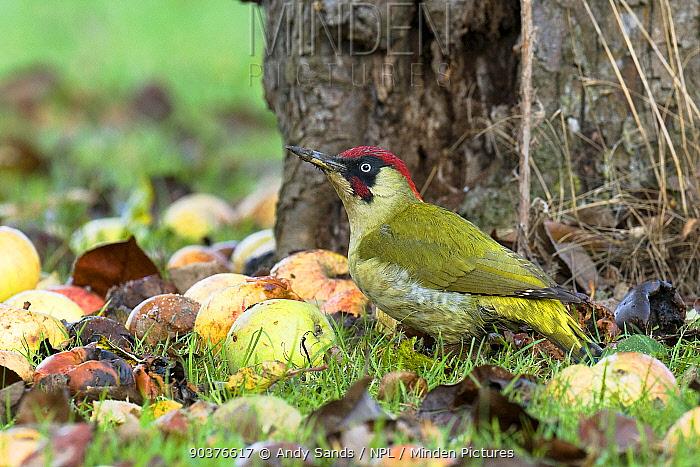 Green Woodpecker (Picus viridis) male among wind-fallen apples Hertfordshire, England, UK, February  -  Andy Sands/ npl