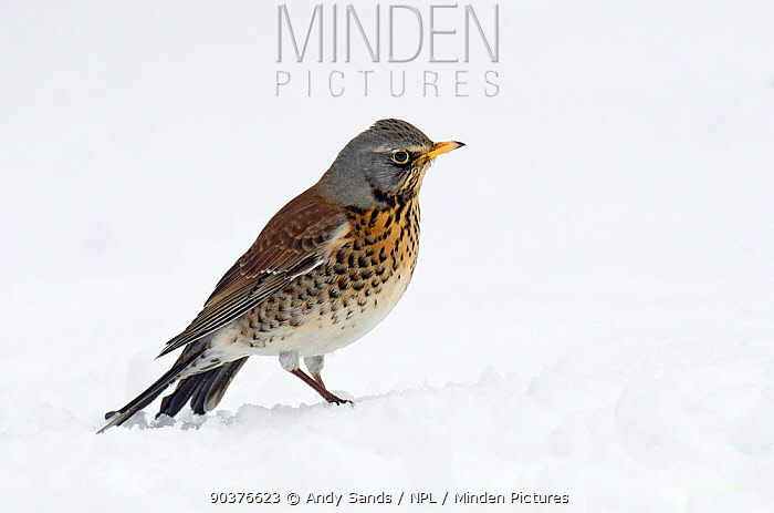 Fieldfare (Turus pilaris) on snow Hertfordshire, England, UK, February  -  Andy Sands/ npl
