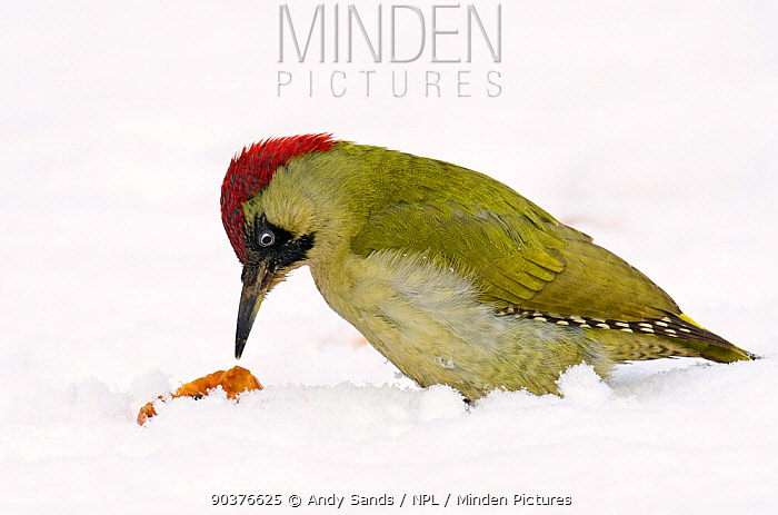Green Woodpecker (Picus viridis) female foraging for fallen apples in snow Hertfordshire, England, UK, February  -  Andy Sands/ npl