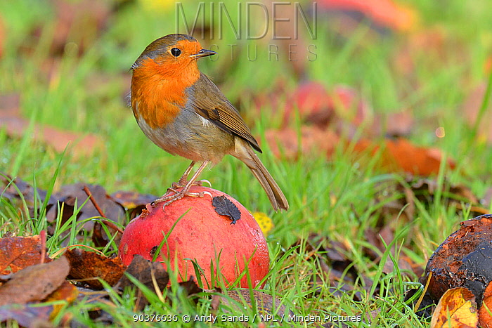 Robin (Erithacus rubecula) perched on wind fallen apple in orchard Hertfordshire, England, UK, November  -  Andy Sands/ npl