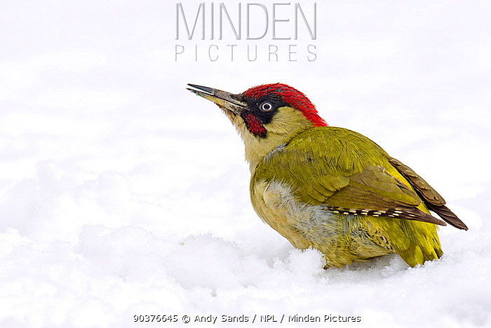 Green Woodpecker (Picus viridis) male on snow, calling Hertfordshire, England, UK, February  -  Andy Sands/ npl