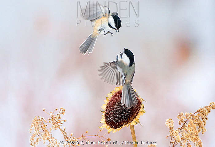 Two Black-capped chickadees (Poecile, Parus atricapilla) in mid-air fight by a sunflower, New York, USA, February  -  Marie Read/ npl