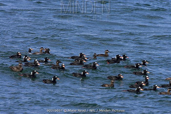 Surf scoter (Melanitta perspicillata) flock on water, Barnegat Inlet, New Jersey, USA, March  -  Marie Read/ npl