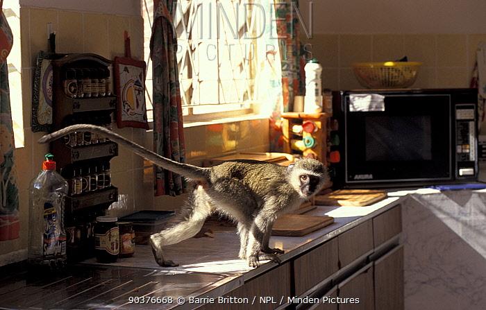 Juvenile Vervet monkey raids kitchen (Chlorocebus, Cercopithecus aethiops) Durban, South Africa Wildvision  -  Barrie Britton/ npl