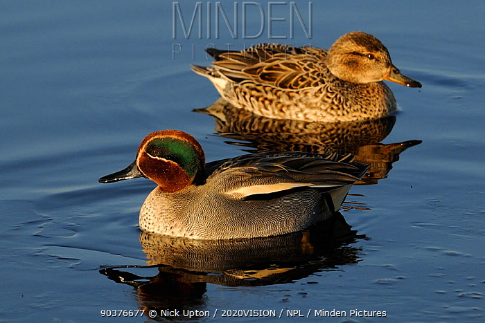 Common teal (Anas crecca) pair on partially frozen flooded marshland on a cold winter day, Greylake RSPB reserve, Somerset Levels, UK, January  -  Nick Upton/ 2020V/ npl