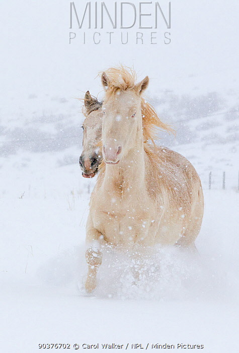 Two Wild horse, mustang colts Mica and Claro adopted from the McCullough Peak and Adobe Town herds, Wyoming, running through snow at the ranch in winter, Colorado, USA, December 2011  -  Carol Walker/ npl