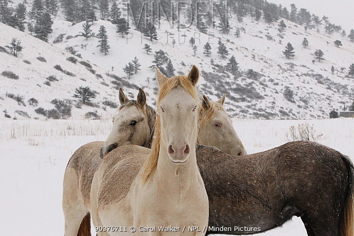 The three Wild horse, mustang colts Cremesso, Mica and Claro, adopted by Carol Walker from the McCullough Peak and Adobe Town herds, Wyoming, standing together in snow at the ranch in winter, Colorado, USA, December 2011  -  Carol Walker/ npl