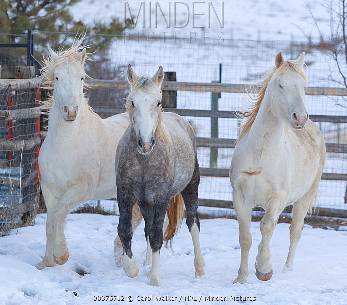 The three Wild horse, mustang colts Cremesso, Mica and Claro, adopted by Carol Walker from the McCullough Peak and Adobe Town herds, Wyoming, running through snow at the ranch in winter, Colorado, USA, December 2011  -  Carol Walker/ npl