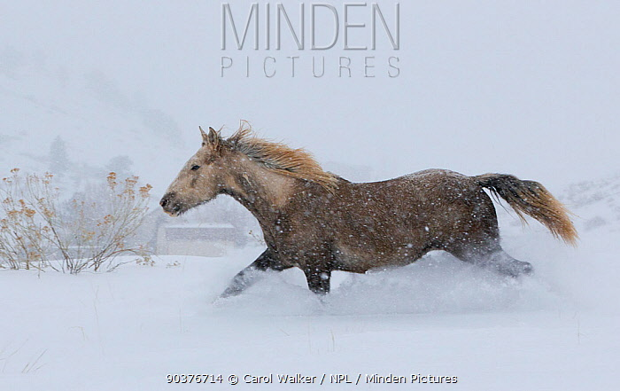 Palomino Wild horse, mustang colt Mica, adopted from the Adobe Town herd, Wyoming, running through deep snow, Colorado, USA, December 2011  -  Carol Walker/ npl