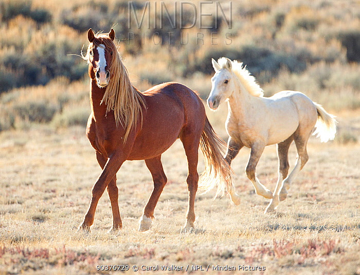 Palomino Wild horse, mustang colt Mica running wild with mare in the Adobe Town herd, Wyoming, USA, October 2010  -  Carol Walker/ npl