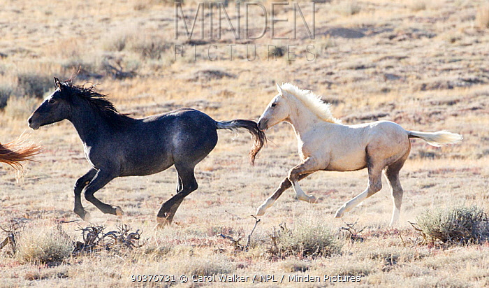 Palomino Wild horse, mustang colt, Mica, running wild with another colt in the Adobe Town herd, Wyoming, USA, October 2010  -  Carol Walker/ npl