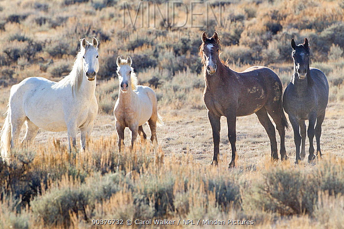 Palomino Wild horse, mustang colt, Mica, with other horses in the Adobe Town herd, Wyoming, USA, October 2010  -  Carol Walker/ npl