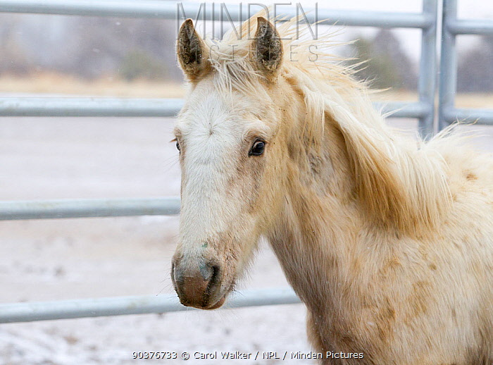Palomino Wild horse, mustang second year colt, Mica, from the Adobe Town herd, Wyoming, put up for adoption, January 2011  -  Carol Walker/ npl