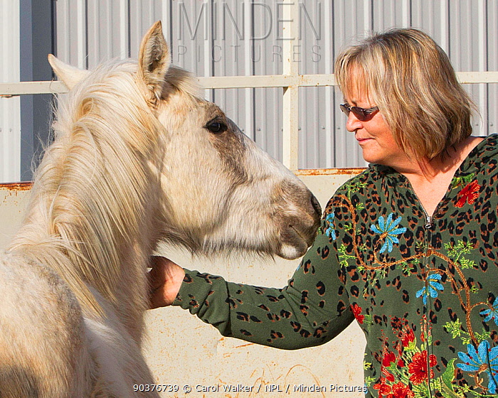 Carol Walker training her second year male palomino Wild horse, mustang colt, Mica, that had been rounded up from the Adobe Town herd, Wyoming, and put up for adoption, Colorado, USA, March 2011, model released  -  Carol Walker/ npl