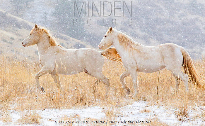 Claro and Cremesso, two third year male cremello Wild horse, mustang colts that had been rounded up from the McCullough Peak herd, Wyoming, and put up for adoption, on their new ranch in Colorado, USA, December 2010  -  Carol Walker/ npl