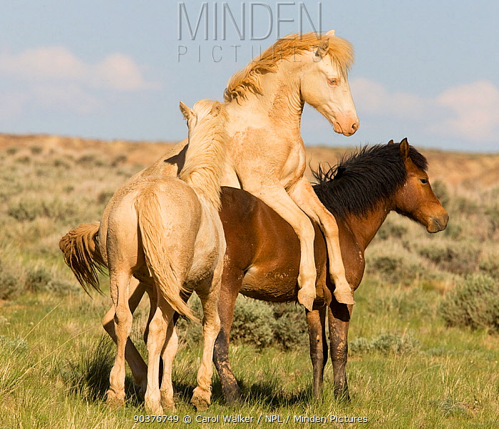 Mustang, wild horses, two yearling cremello colts Claro and Cremesso playing with a bay, McCullough Peak herd, Wyoming, USA, June 2008  -  Carol Walker/ npl