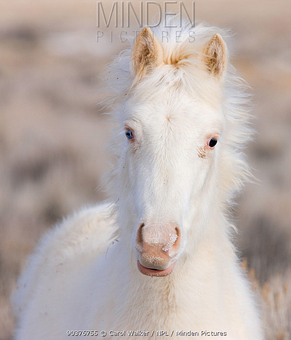 Mustang, wild horse, yearling cremello colt Claro, later adopted, in thick winter coat, McCullough Peak herd, Wyoming, USA, February 2008  -  Carol Walker/ npl