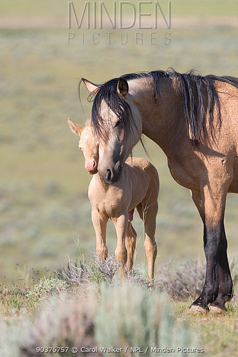 Mustang, wild horses, cremello colt foal Cremesso with mother, McCullough Peak herd, Wyoming, USA, June 2007  -  Carol Walker/ npl