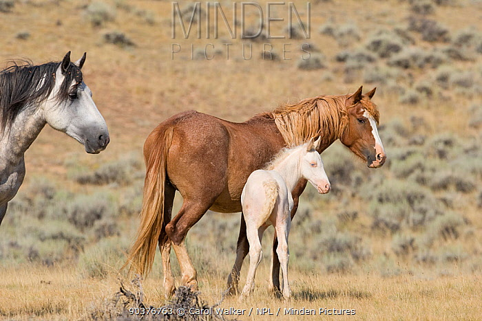 Mustang, wild horses, cremello colt foal Claro with mare, McCullough Peak herd, Wyoming, USA, August 2007  -  Carol Walker/ npl