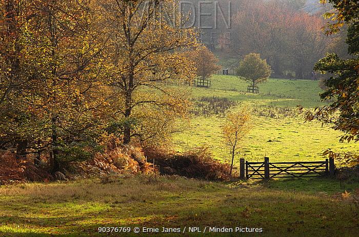 Felbrigg Great Wood, Norfolk, UK, early November  -  Ernie Janes/ npl