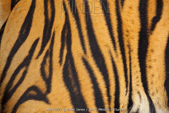 Bengal tiger (Panthera tigris tigris) close up of stripes, Thailand, captive  -  Ernie Janes/ npl