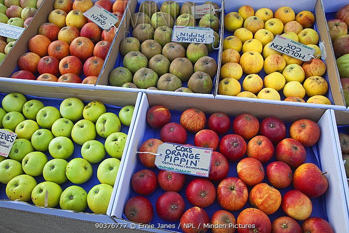 Harvested apple varieties including Cox's orange pippinm on display, UK  -  Ernie Janes/ npl