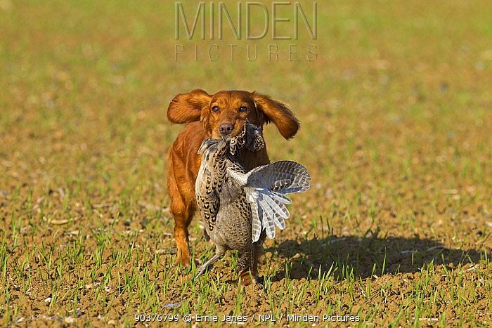 Cocker spaniel dog retrieving partridges on shoot, UK  -  Ernie Janes/ npl