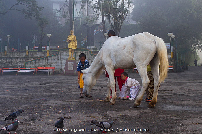 Morning scene with children feeding lone horse and pigeons, Darjeeling, West Bengal, India 2010  -  Dr. Axel Gebauer/ npl