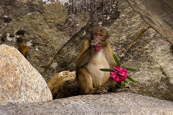 Arunachal, Tawang macaque (Macaca munzala) feeding on a red Rhododendron flower, Lumla, Northwest Arunachal Pradesh, India, new species discovered in 2005  -  Dr. Axel Gebauer/ npl