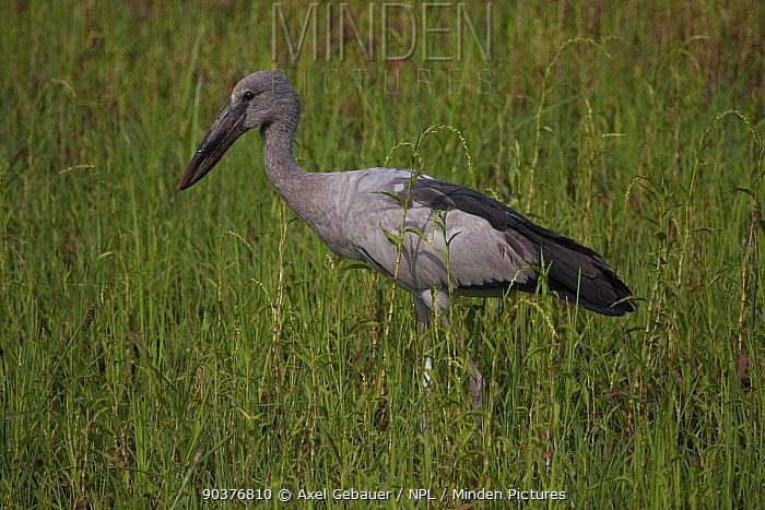 Asian openbill stork (Anastomus oscitans), Assam, India  -  Dr. Axel Gebauer/ npl