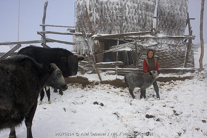 Boy handing Yak calf, life on the yak farm of the Tibetan family Buthia, Sandakphu, Kangchenchonga area, West Bengal, India 2008  -  Dr. Axel Gebauer/ npl