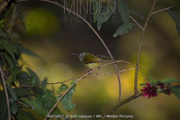 Green-tailed Sunbird (Aethopyga nipalensis), Gangtok, Sikkim, India  -  Dr. Axel Gebauer/ npl