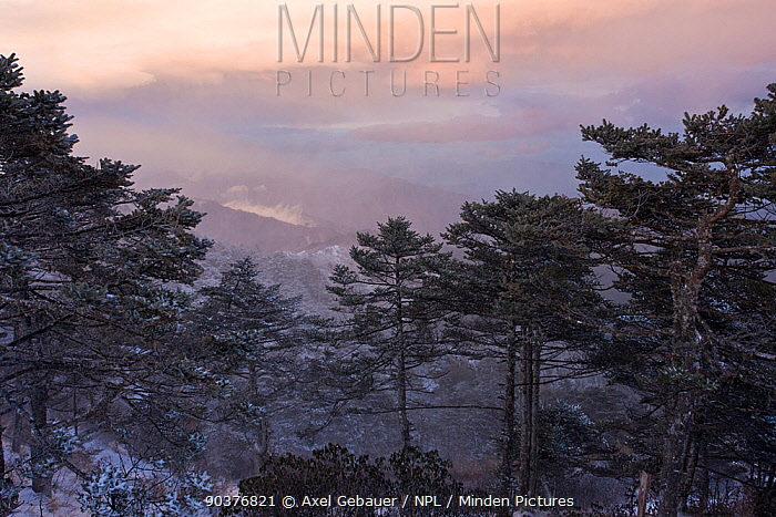 Red panda (Ailurus fulgens) habitat in the Kangchendzonga Landscape of the triangle Sikkim, West Bengal and Nepal with mixed fir and rhododendron forest at 4,000m  -  Dr. Axel Gebauer/ npl