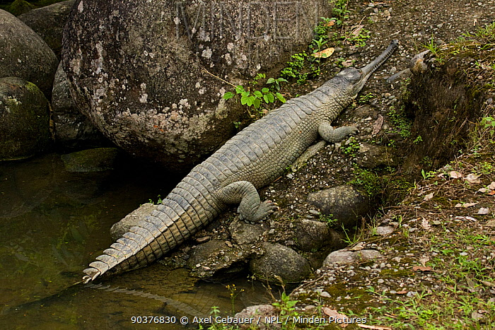 Indian gharial (Gavialis gangeticus) Itanagar, Arunachal, India, captive  -  Dr. Axel Gebauer/ npl