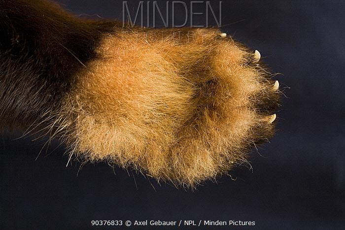 Red panda (Ailurus fulgens), detail of foreleg and paw, underside of paw, captive  -  Dr. Axel Gebauer/ npl