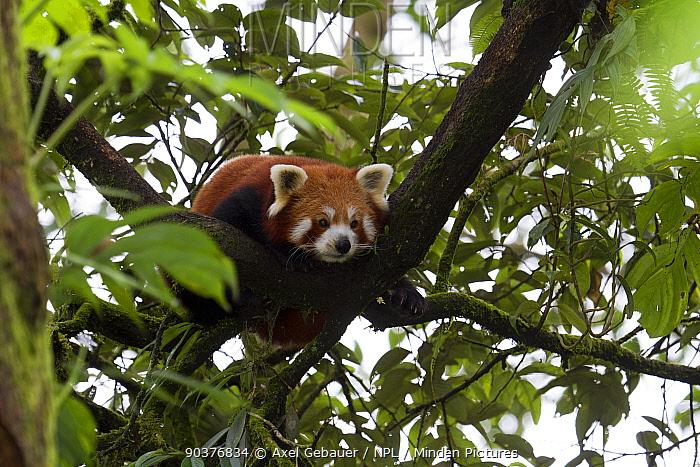 Red panda (Ailurus fulgens), resting in tree, Darjeeling, West Bengal, India, captive  -  Dr. Axel Gebauer/ npl