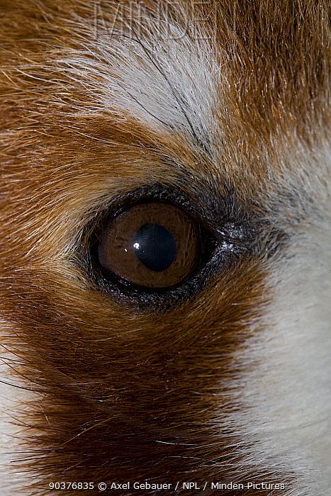 Red panda (Ailurus fulgens), close up of eye detail, captive  -  Dr. Axel Gebauer/ npl