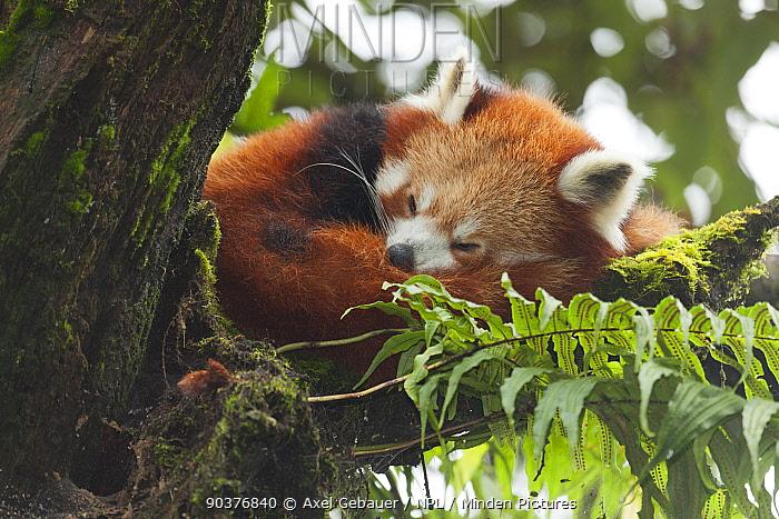 Red panda (Ailurus fulgens), sleeping in tree, Darjeeling, India, captive  -  Dr. Axel Gebauer/ npl