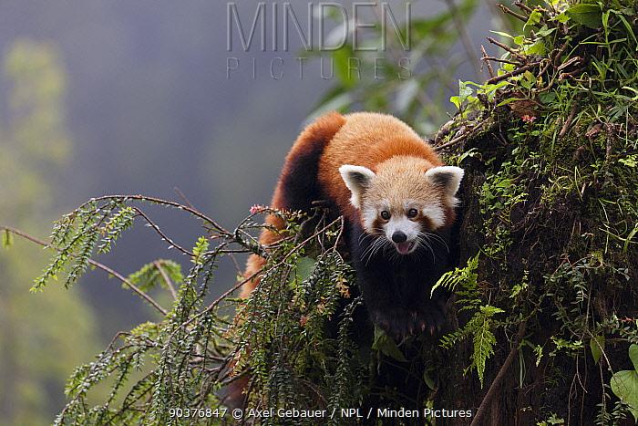 Red panda (Ailurus fulgens), climbing in tree, Gangtok, Sikkim, India, captive  -  Dr. Axel Gebauer/ npl