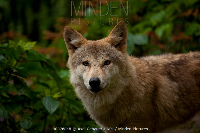 Tibetan wolf (Canis lupus chanco), Gangtok, Sikkim, India, captive  -  Dr. Axel Gebauer/ npl