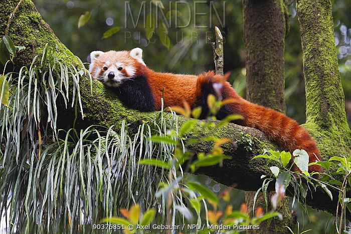 Red panda (Ailurus fulgens), resting up in tree, Darjeeling, West Bengal, India, captive  -  Dr. Axel Gebauer/ npl