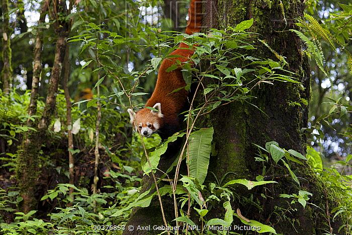 Red panda (Ailurus fulgens), climbing down tree, Darjeeling, India, captive  -  Dr. Axel Gebauer/ npl