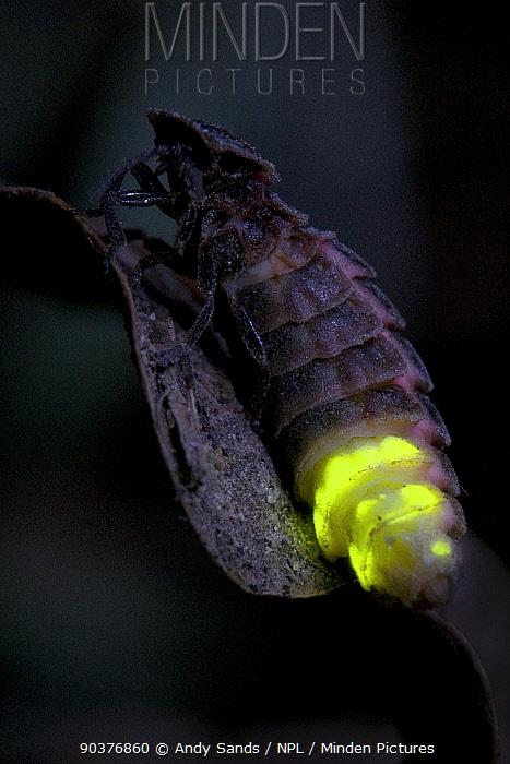 Glow Worm (Lampyris noctiluca) female glowing after dark Hertfordshire, England, Uk, July  -  Andy Sands/ npl