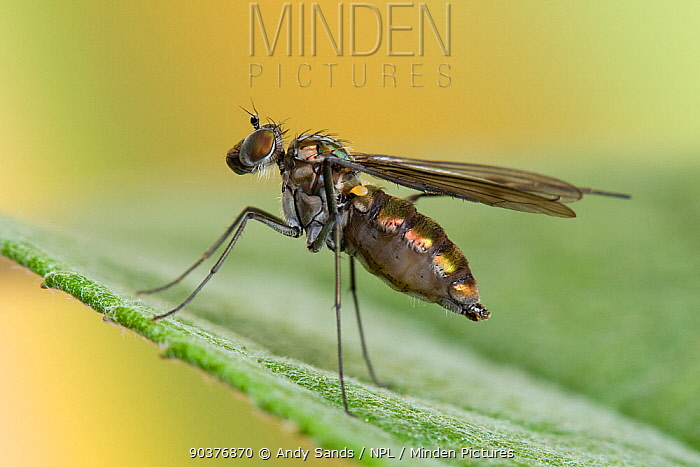 Long Legged fly (Dolichopus claviger) using rear legs to preen wings UK, Captive, July  -  Andy Sands/ npl