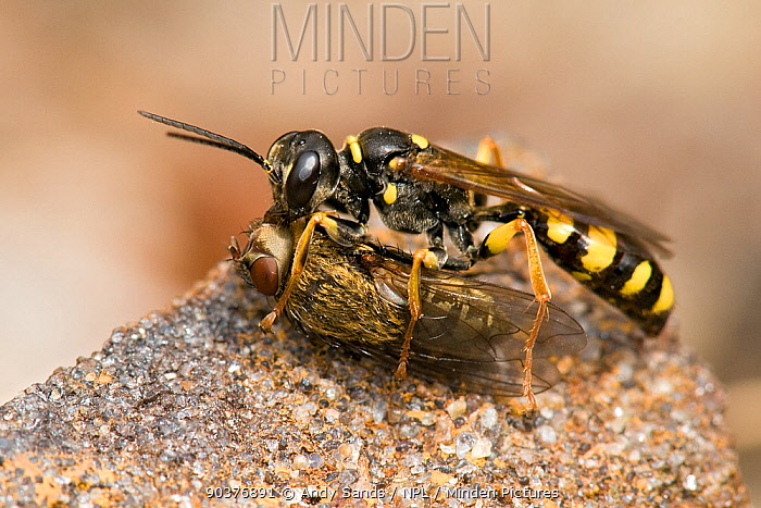 Field Digger Wasp (Mellinus arvensis) with paralysed fly West Sussex, England, UK, August  -  Andy Sands/ npl