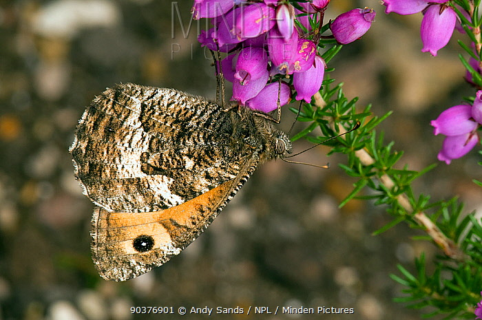 Grayling Butterfly (Hipparchia semele) feeding on bell heather (Erica cinerea) West Sussex, England, UK, August  -  Andy Sands/ npl