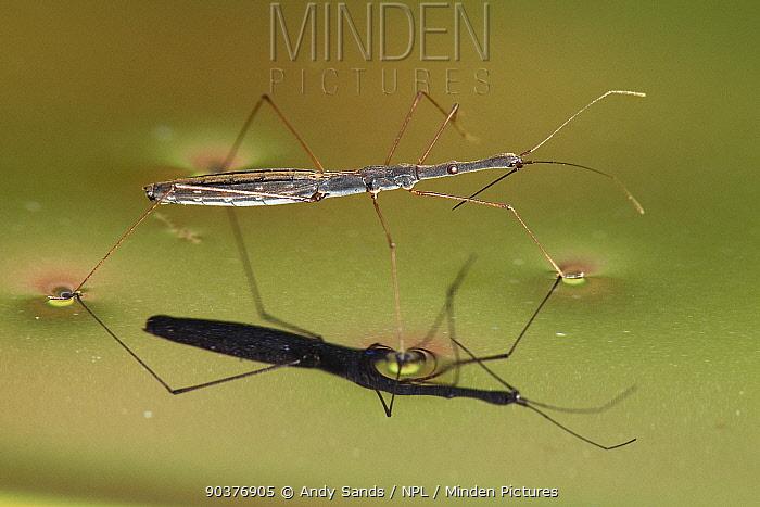 Long Water Measurer (Hydrometra stagnorum) walking on water using surface tension Captive, UK, July  -  Andy Sands/ npl