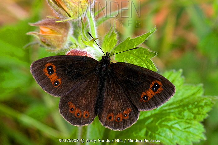 Scotch Argus Butterfly (Erebia aethiops) resting with wings open Scotland, UK, June  -  Andy Sands/ npl