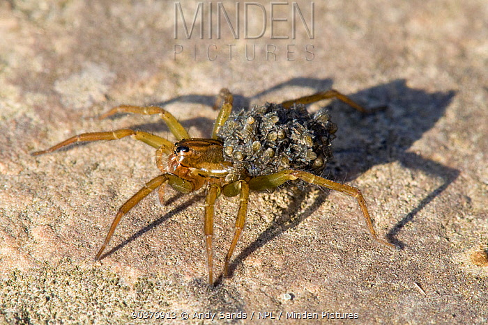 Pirate Pond Spider (Pirata piraticus) carrying young spiderlings on back East Sussex, UK, July  -  Andy Sands/ npl