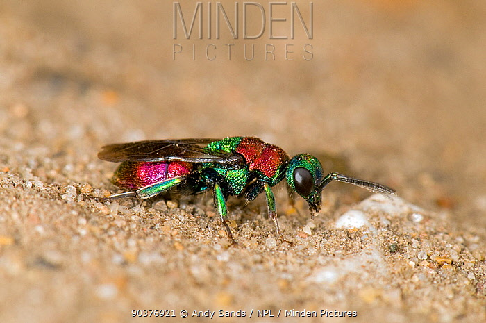 Ruby Tailed Wasp (Hedychrum niemelai, rutilans), a cuckoo wasp that feeds its larvae on the food stored in burrows by other species London, England, UK, August  -  Andy Sands/ npl